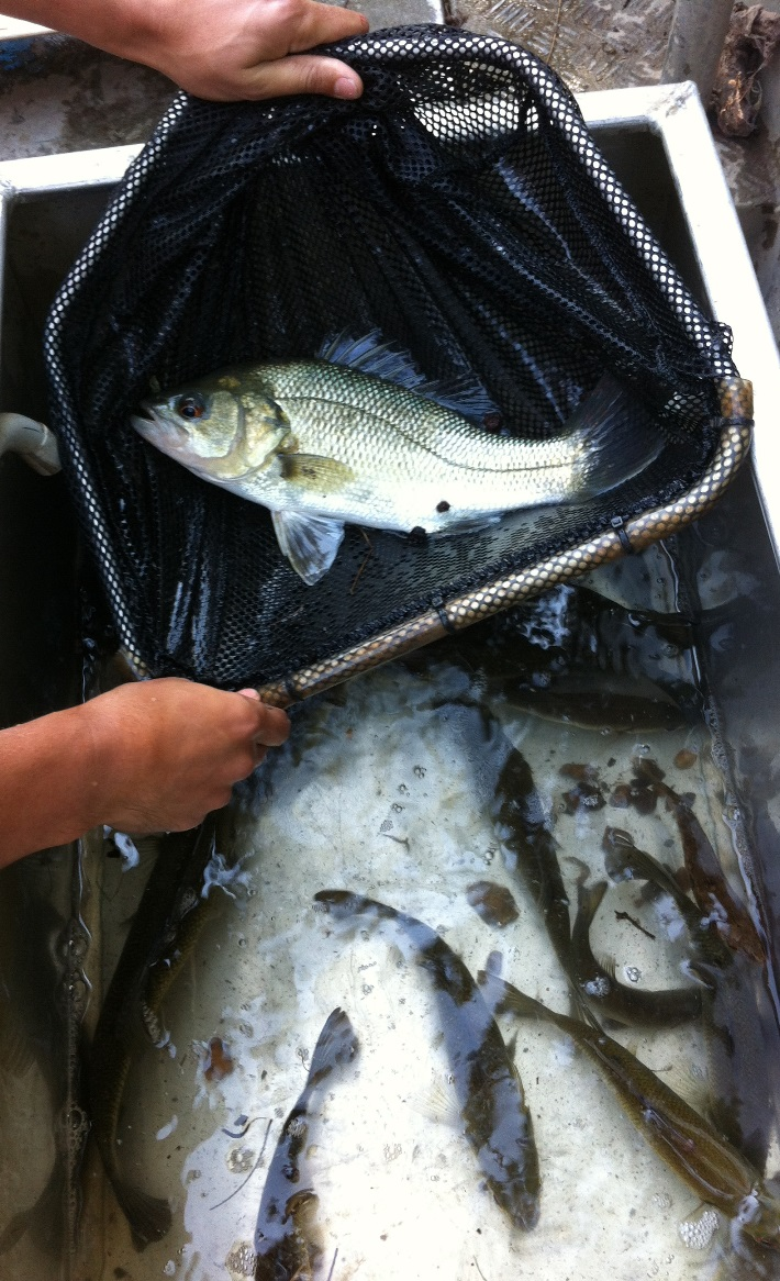 Processing fish during a survey