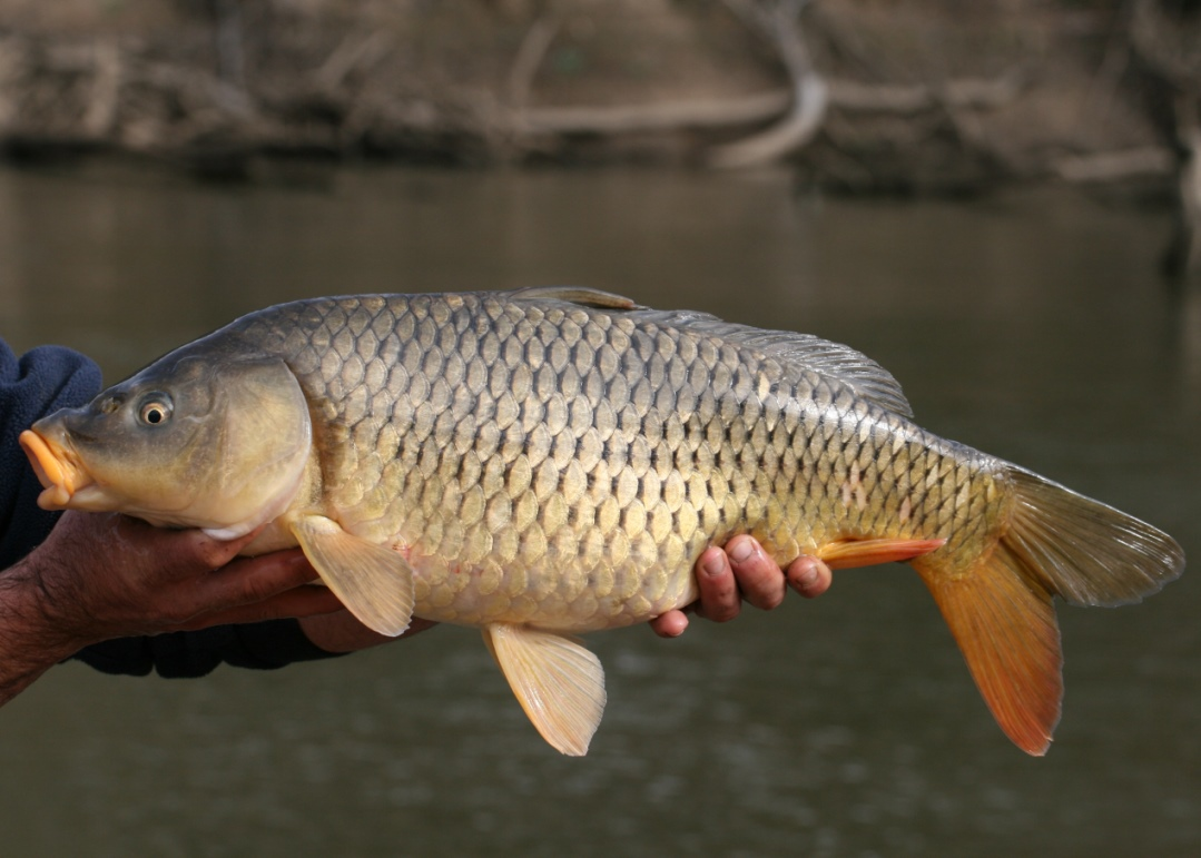 An adult Common Carp - a widespread pest in eastern Australian waterways