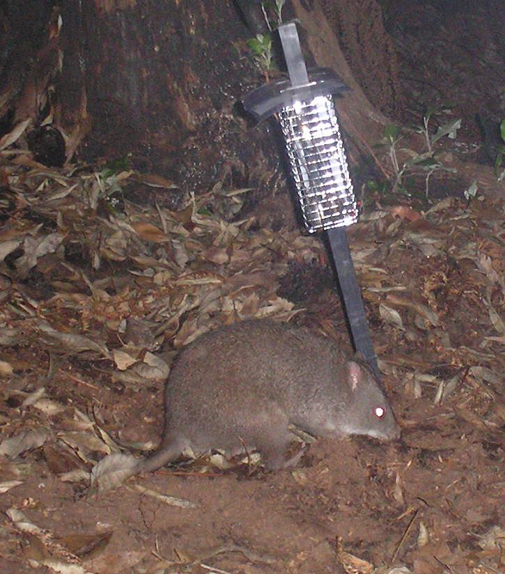 The Long-footed Potoroo in East Gippsland