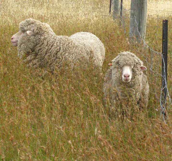 Sheep grazing in native grasslands