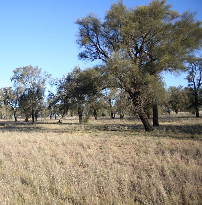 A remnant of Plains Savannah (EVC 826)