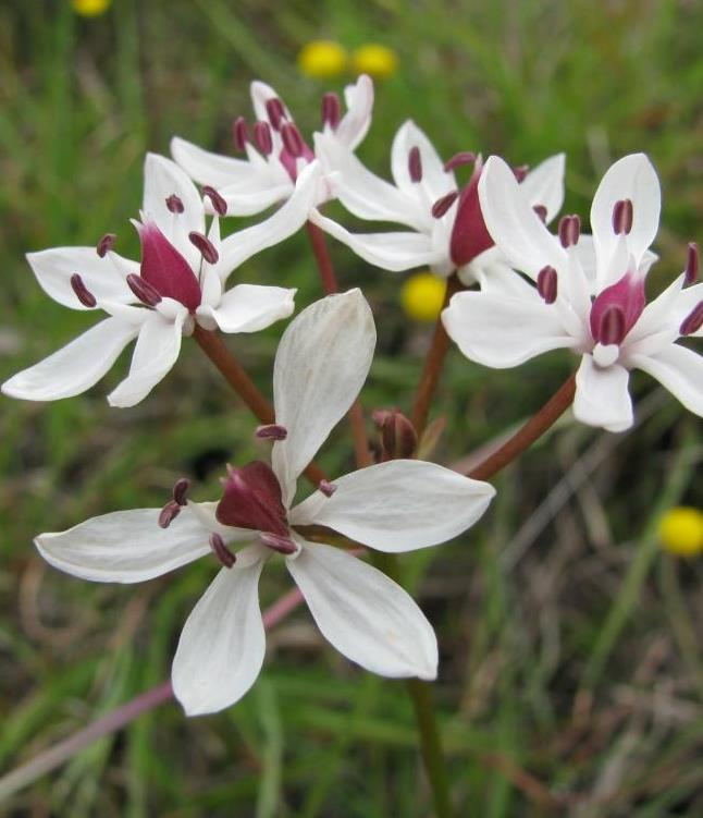 This lily Burchardia umbellata (Milkmaid) indicates good native grassland plant diversity
