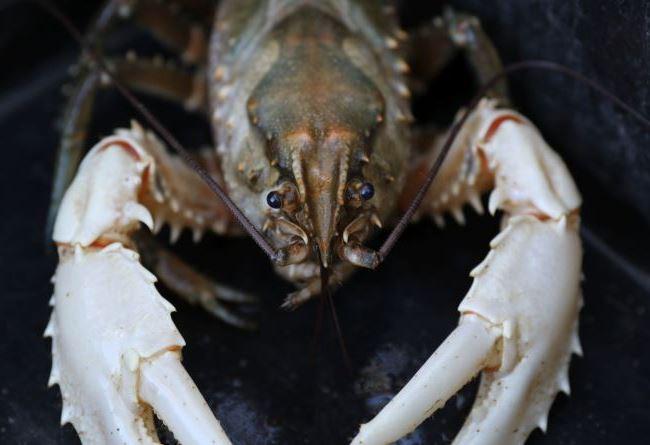 The Murray Crayfish