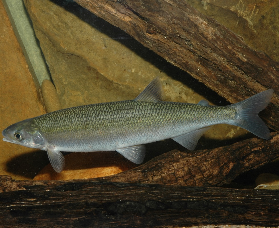 The Australian Grayling is threatened by instream barriers to migration and alterations to flow regimes