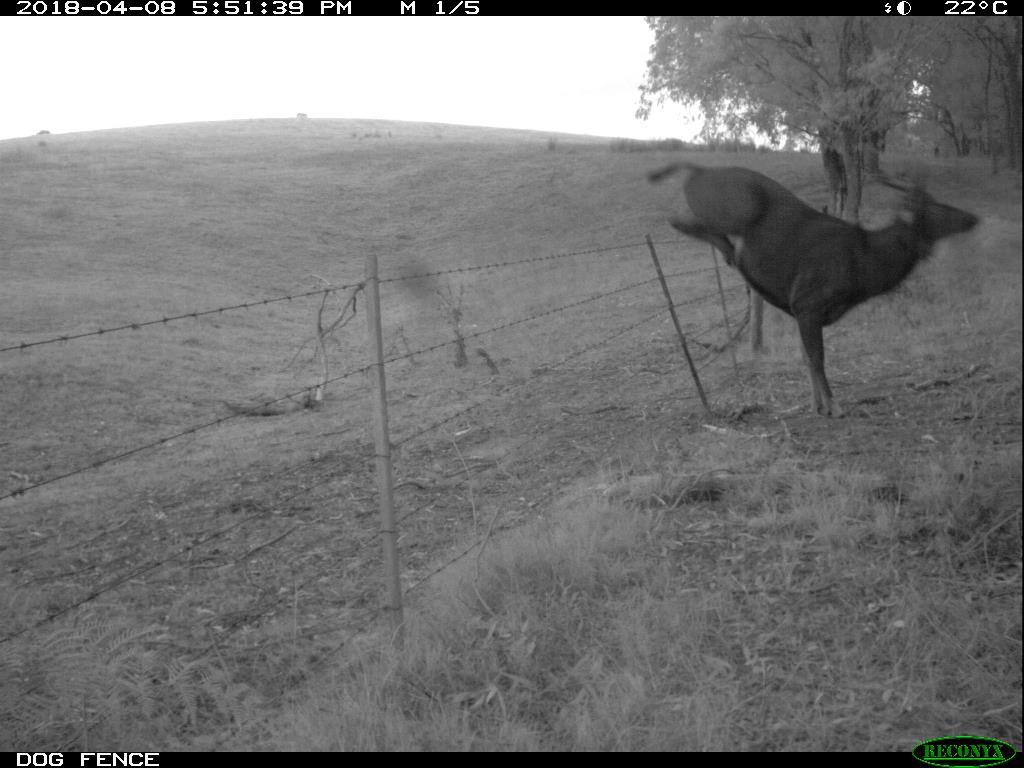 A deer jumping a paddock fence