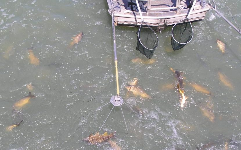 Electrofishing for carp - this method can be used to help estimate numbers