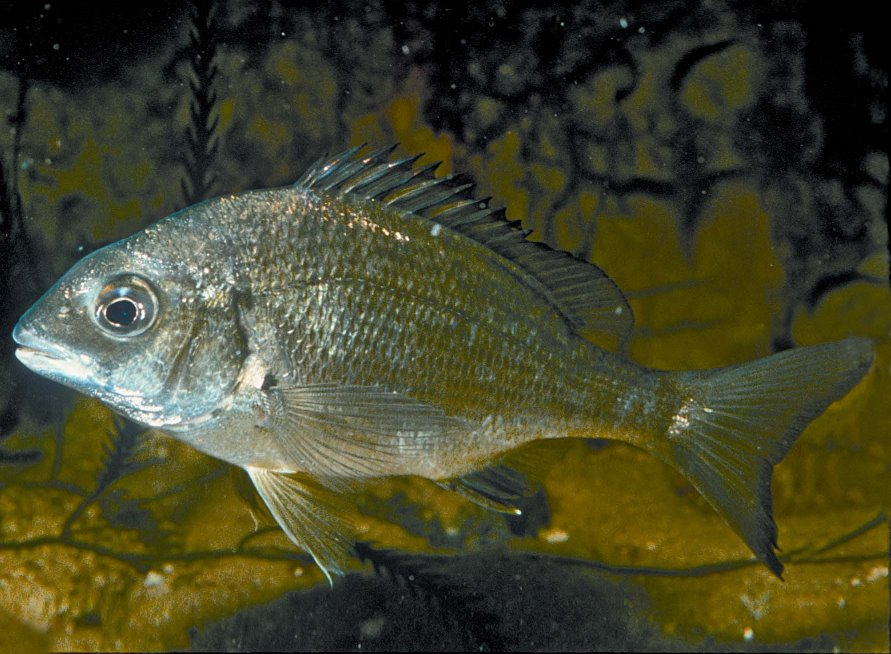 A Black Bream - an estuarine species found throughout coastal Victoria and a popular angling fish (Photo: Rudi Kuiter)