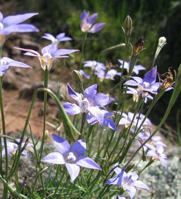 Native Bluebells (Wahlenbergia) are common in the rail reserves