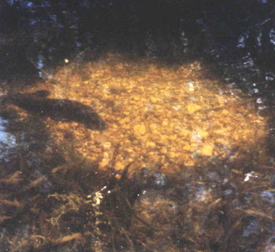 A circular nest of stones constructed by Freshwater Catfish during breeding