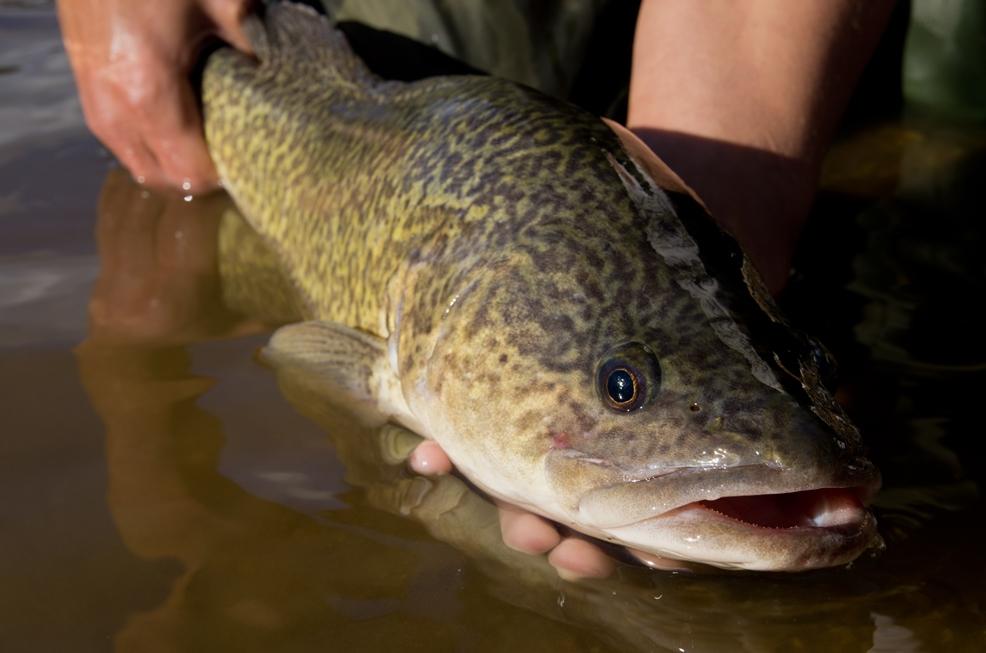 The Murray Cod, an iconic Australian native fish