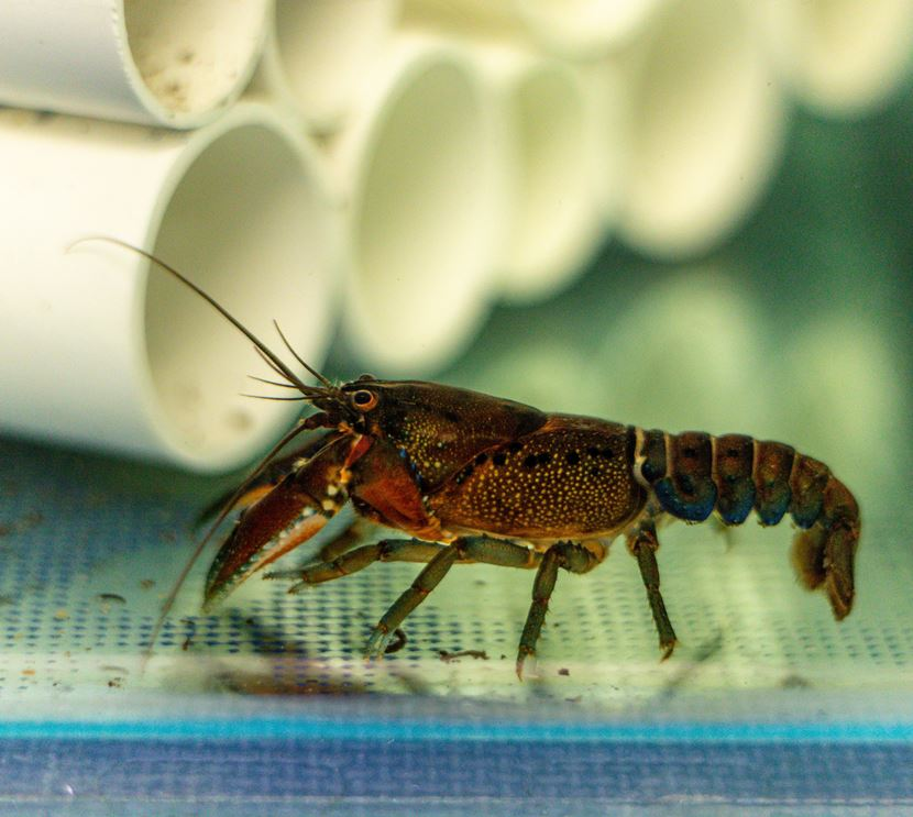 Freshwater crayfish in the ARI aquarium after being rescued from fire affected areas