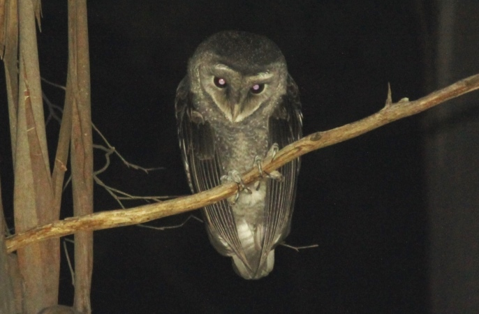 A Sooty Owl, observed during ARI RFA surveys
