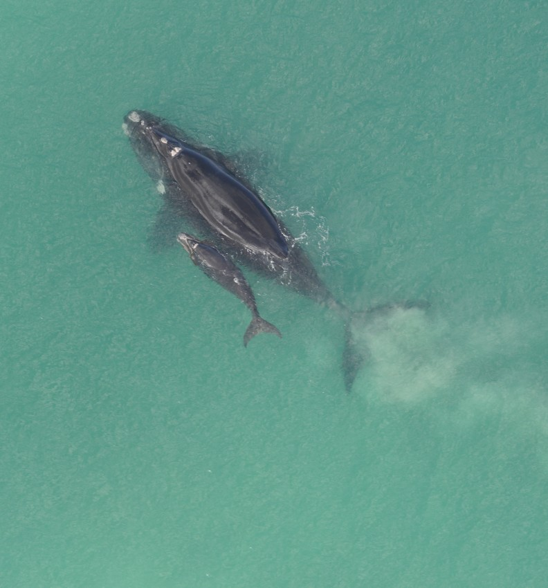 Aerial photograph of a mother southern right whale and calf