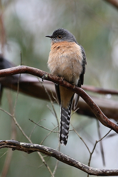 A Fan-tailed Cuckoo, a species that resides within the fire and carbon study area