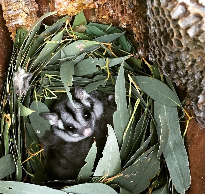 A Sugar Glider in a nest box installed by Connecting Country (photo: Jess Lawton)