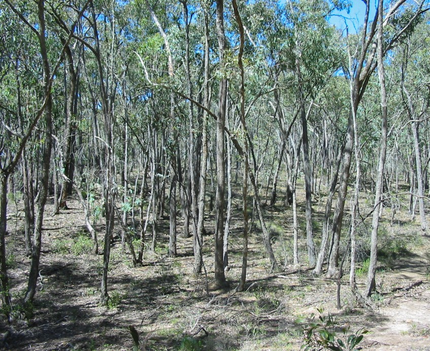 Box-Ironbark forest that has little old growth characteristics