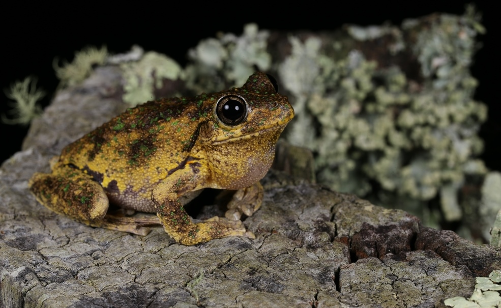 Peron's Tree Frog (Litoria peronii) (photo by Geoff Heard)