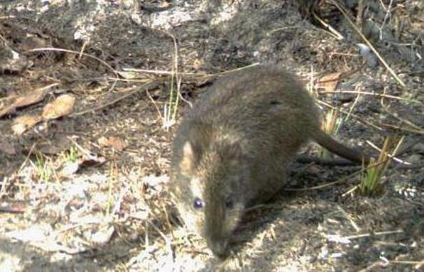 The Long-nosed Potoroo has been detected in the study area