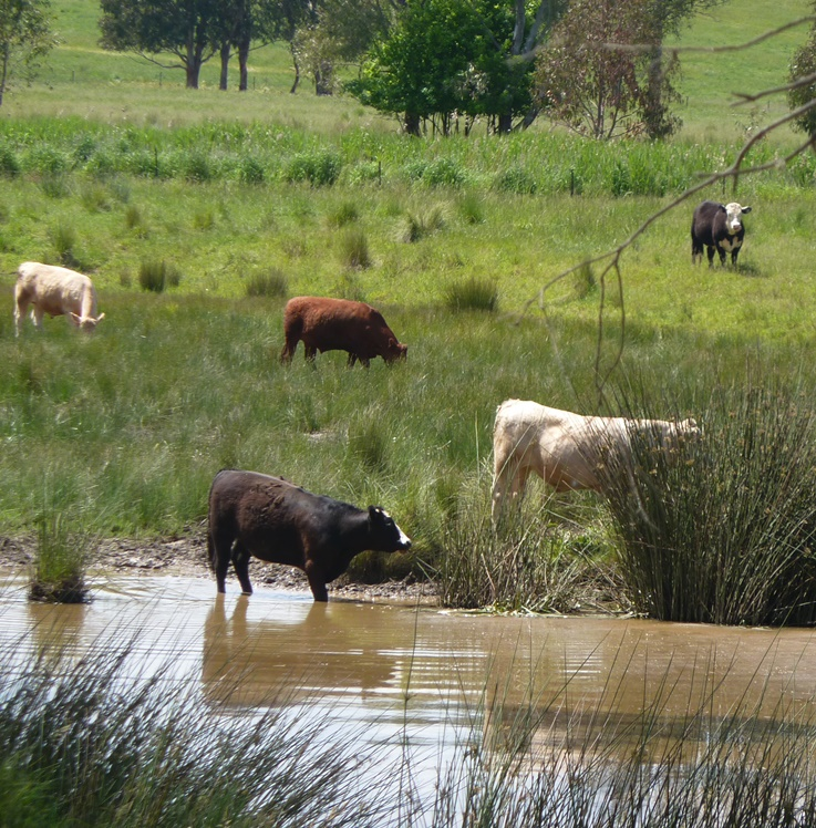 Cows grazing in a wetland