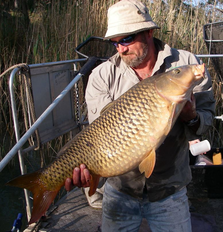 A large, gravid female Carp