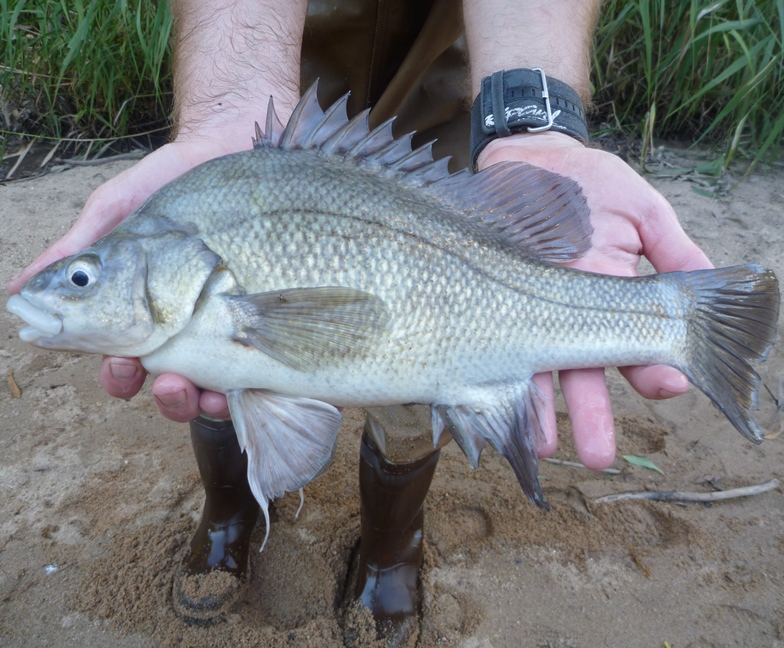 An adult of the nationally endangered Macquarie Perch