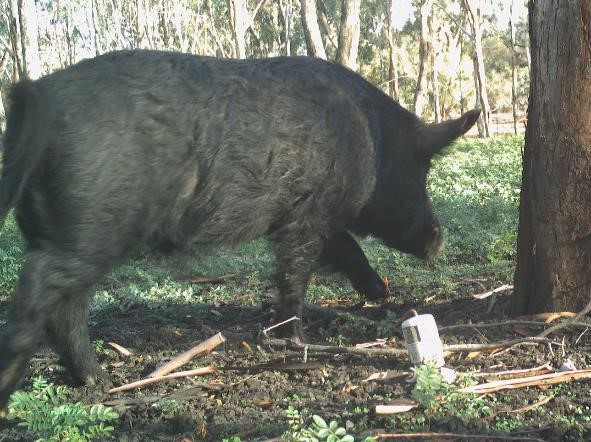Feral pig photographed by a survey camera