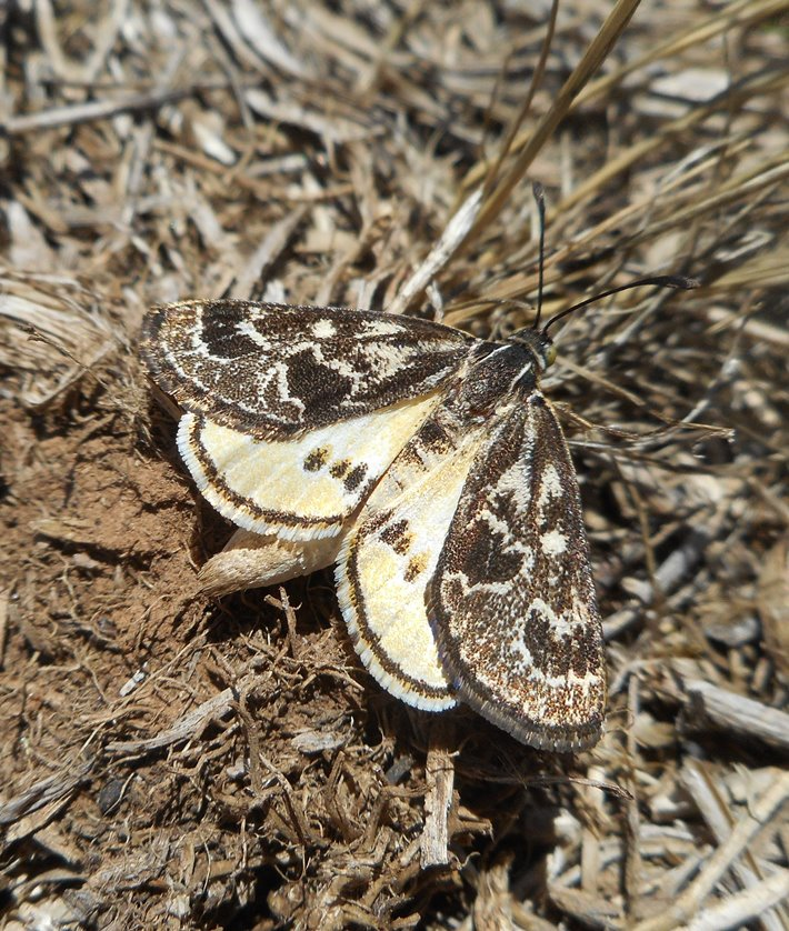 The threatened Golden Sun Moth is present in a number of reserves formed under the MSA