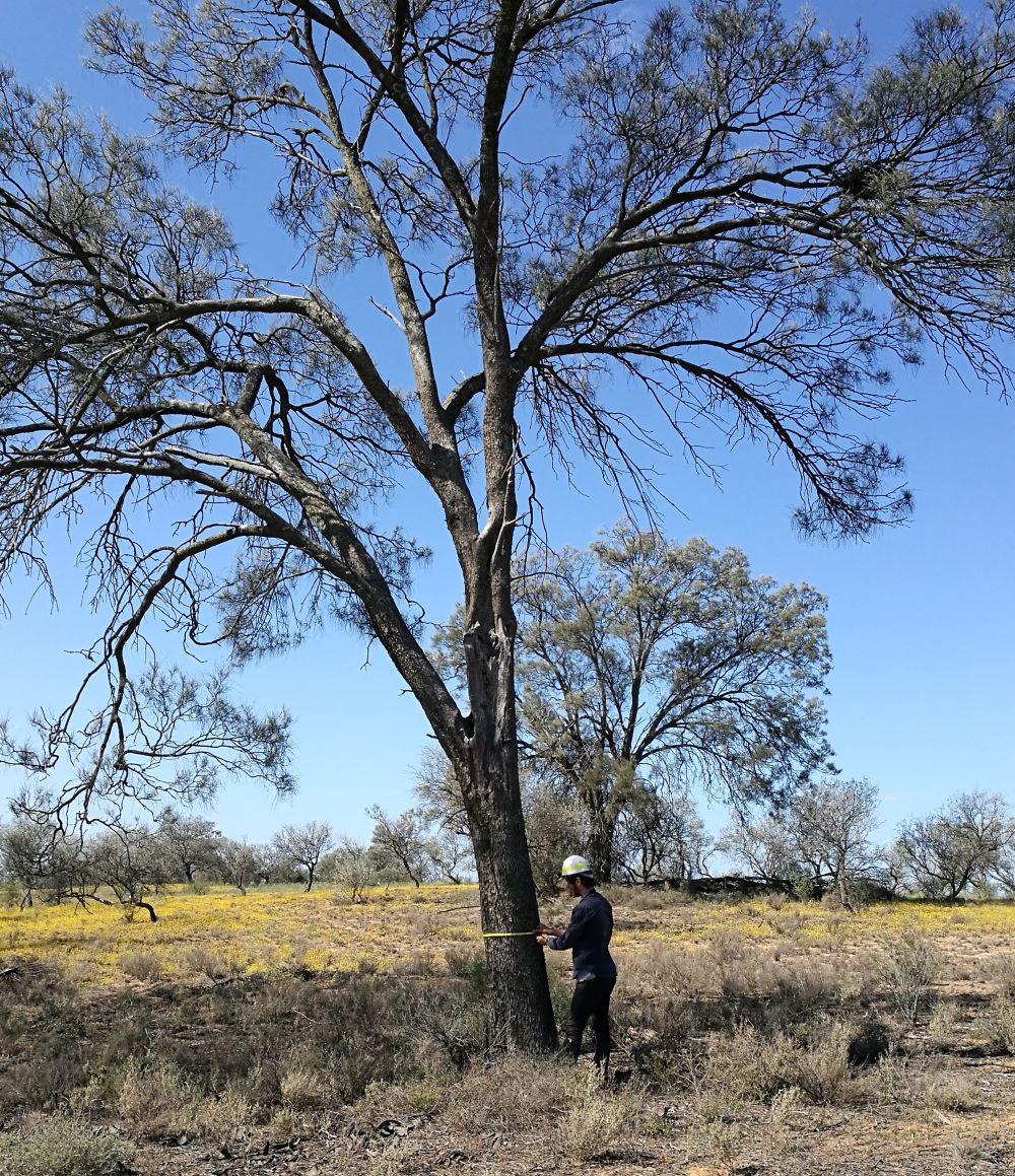 Measuring Buloke trunk size within Murray-Sunset National Park.