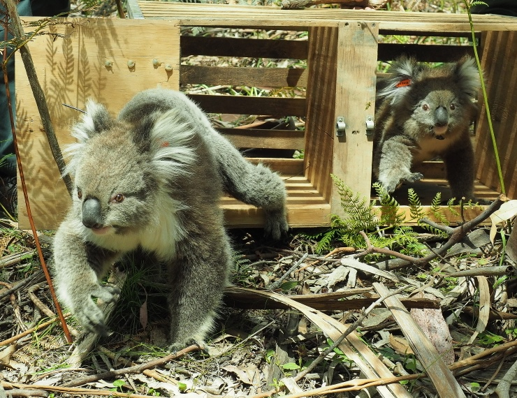 Translocated koalas being released into Tallarook State Forest