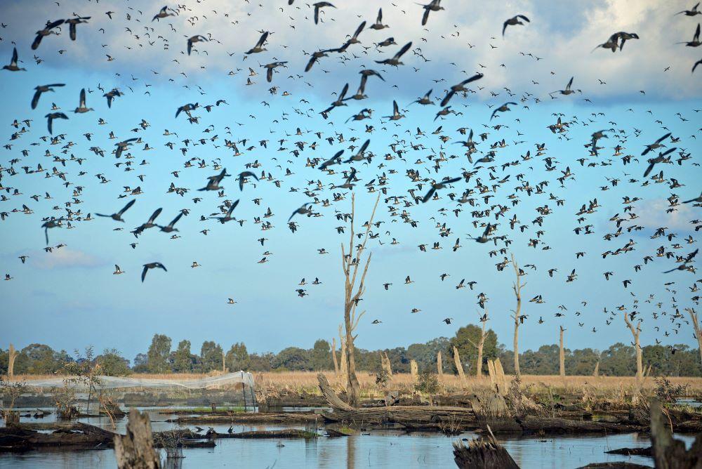 Flock of Grey Teal in a wetland